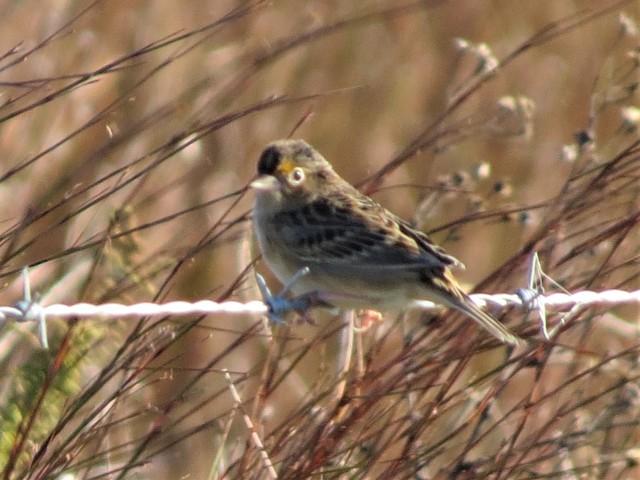 Grasshopper Sparrow2