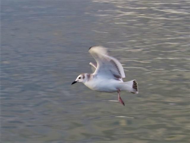 Sabines Gull4