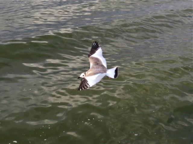 Sabines Gull5