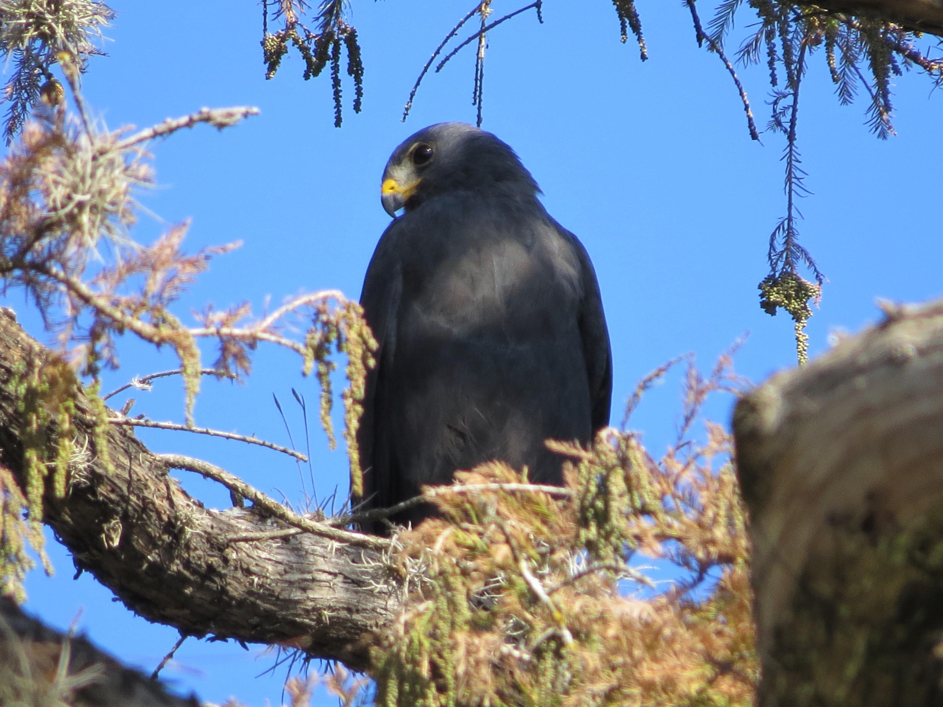 Zone-tailed Hawk1