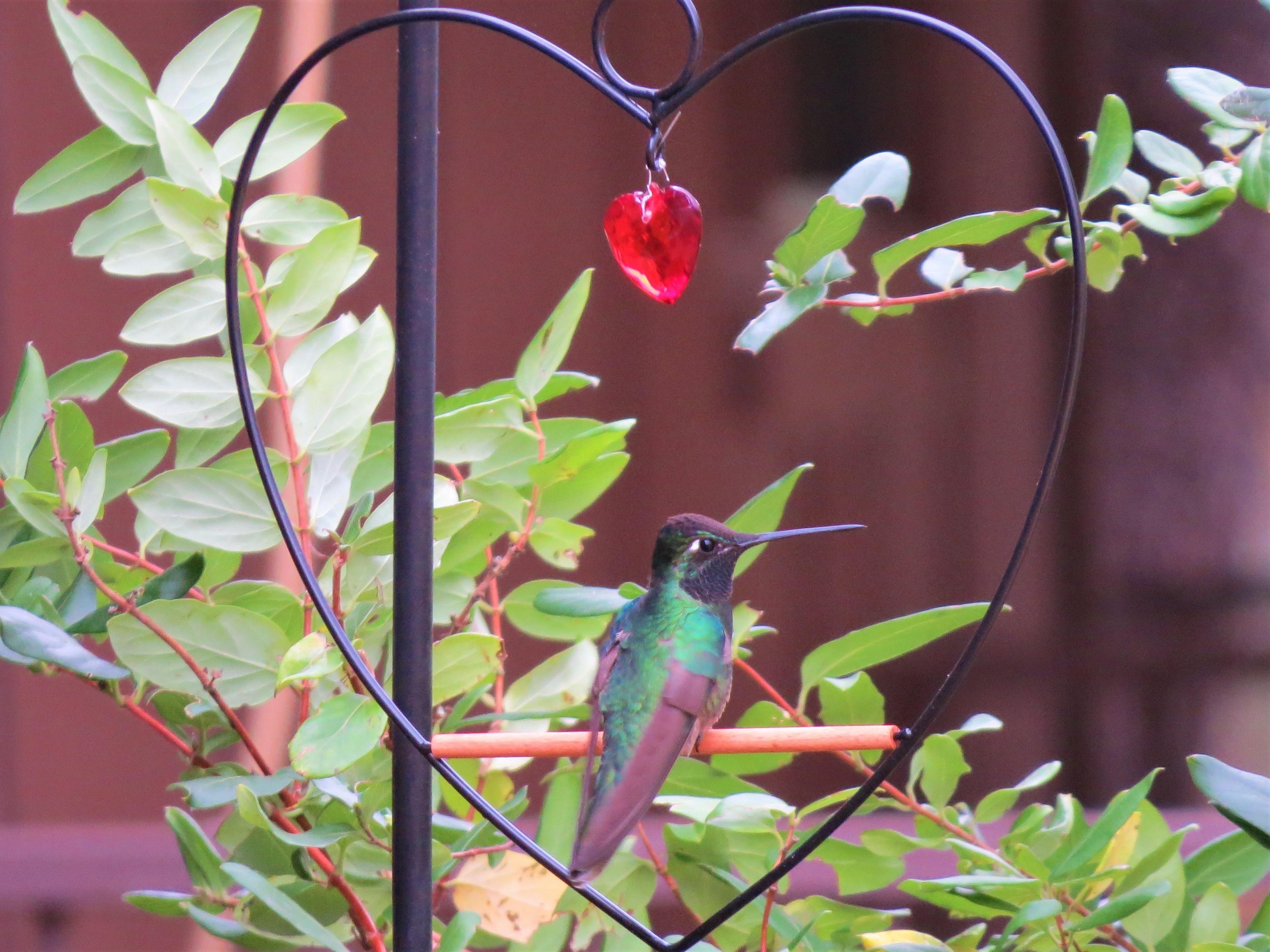 Rivolis Hummingbird