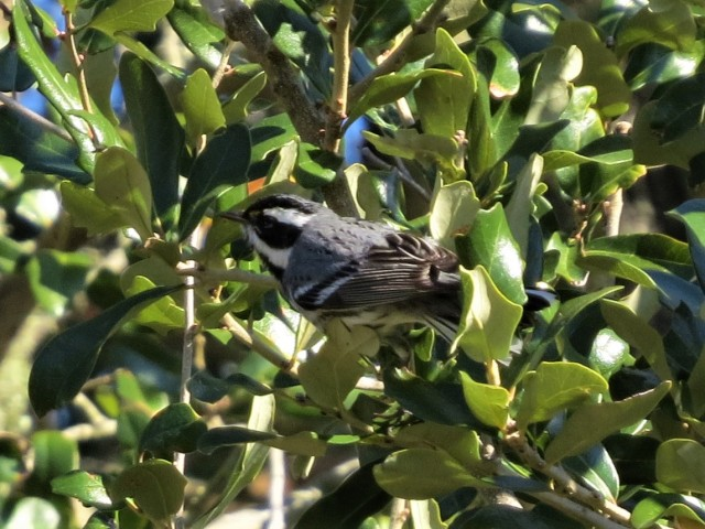 Black-throated Gray Warbler2