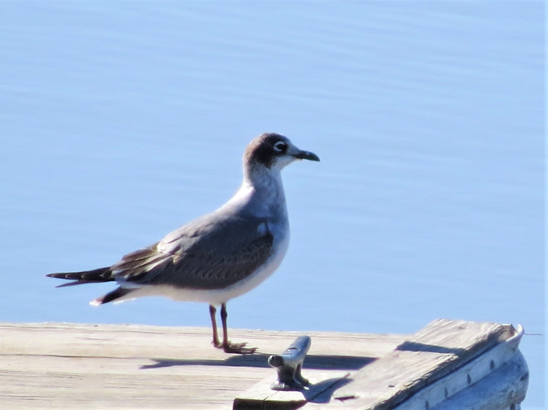Franklins Gull