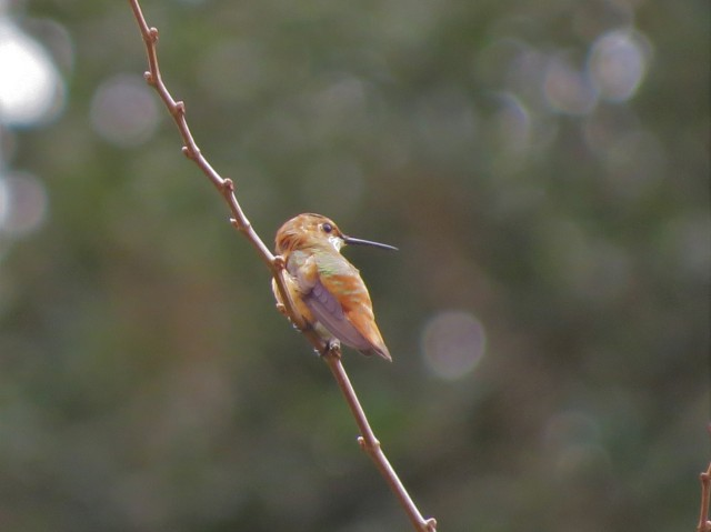 Rufous or Allen's Hummingbird2