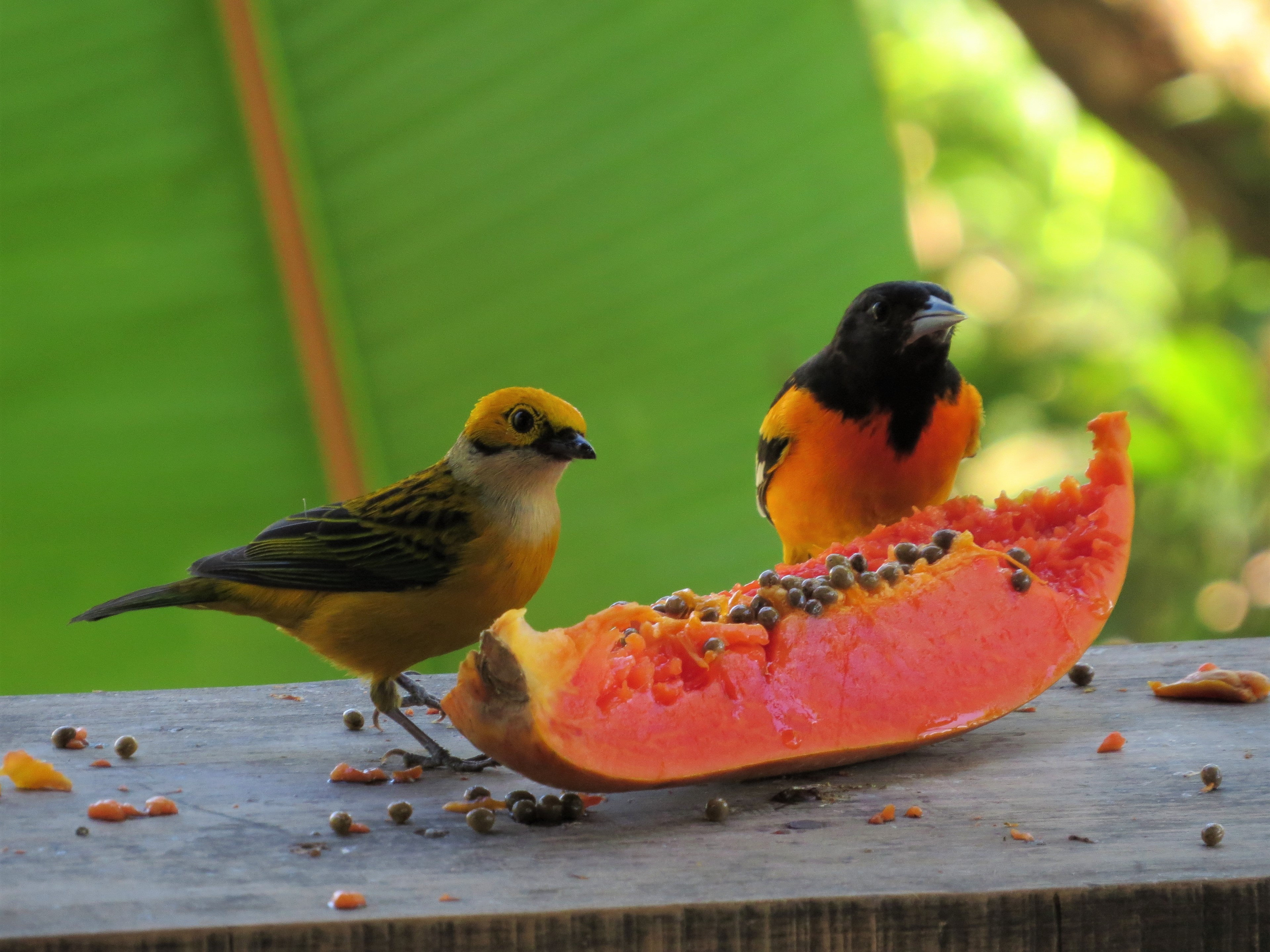 Silver-throated Tanager and Baltimore Oriole