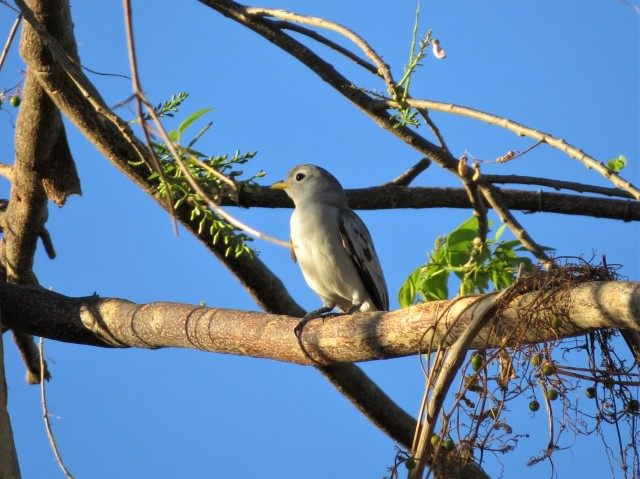 Yellow-billed Cotinga4
