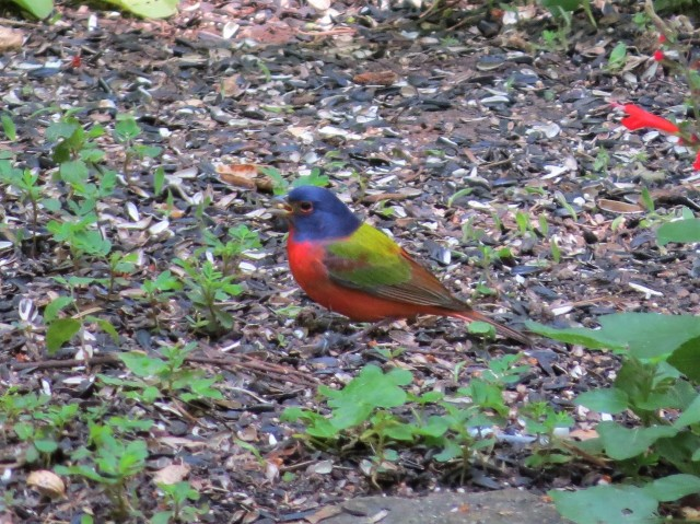 Painted Bunting2