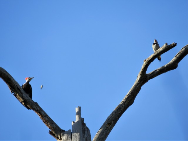 Pileated Woodpecker and Northern Flicker