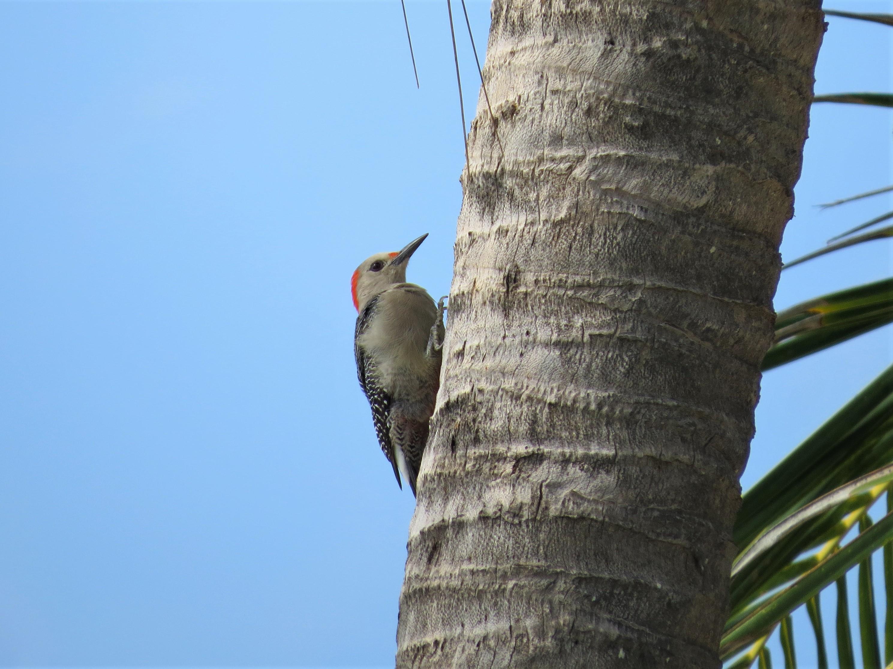 Velasquezs Woodpecker