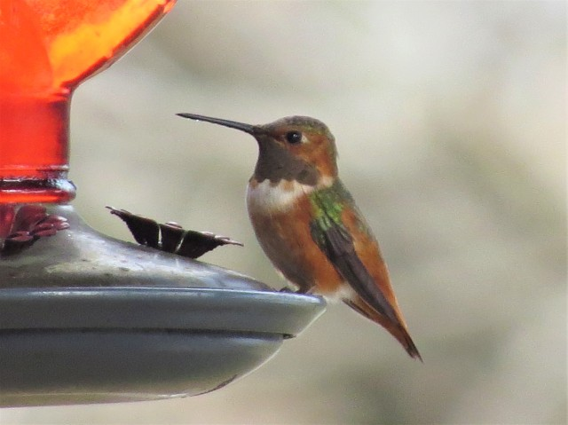 Allens Hummingbird1