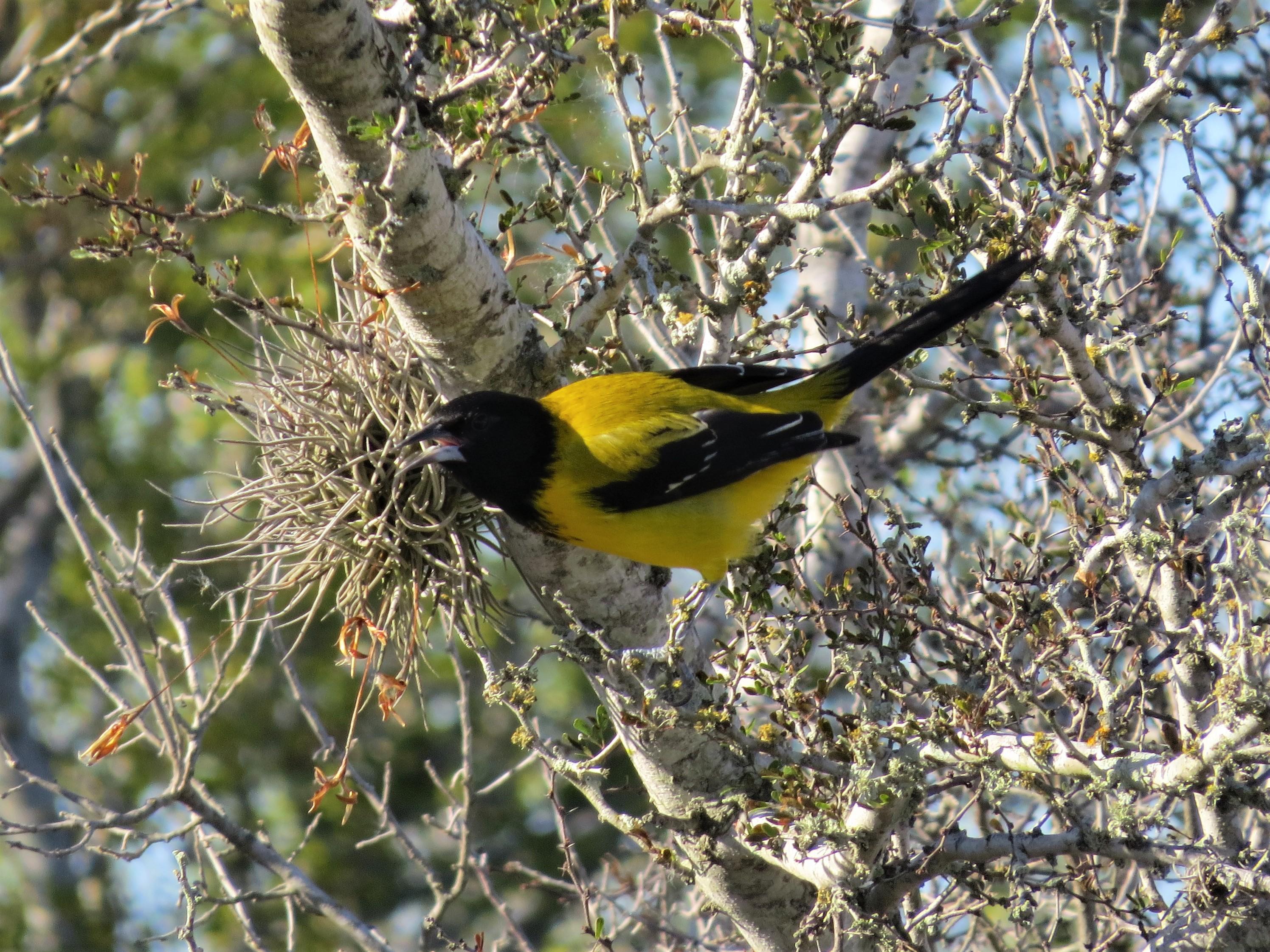 Audubons Oriole