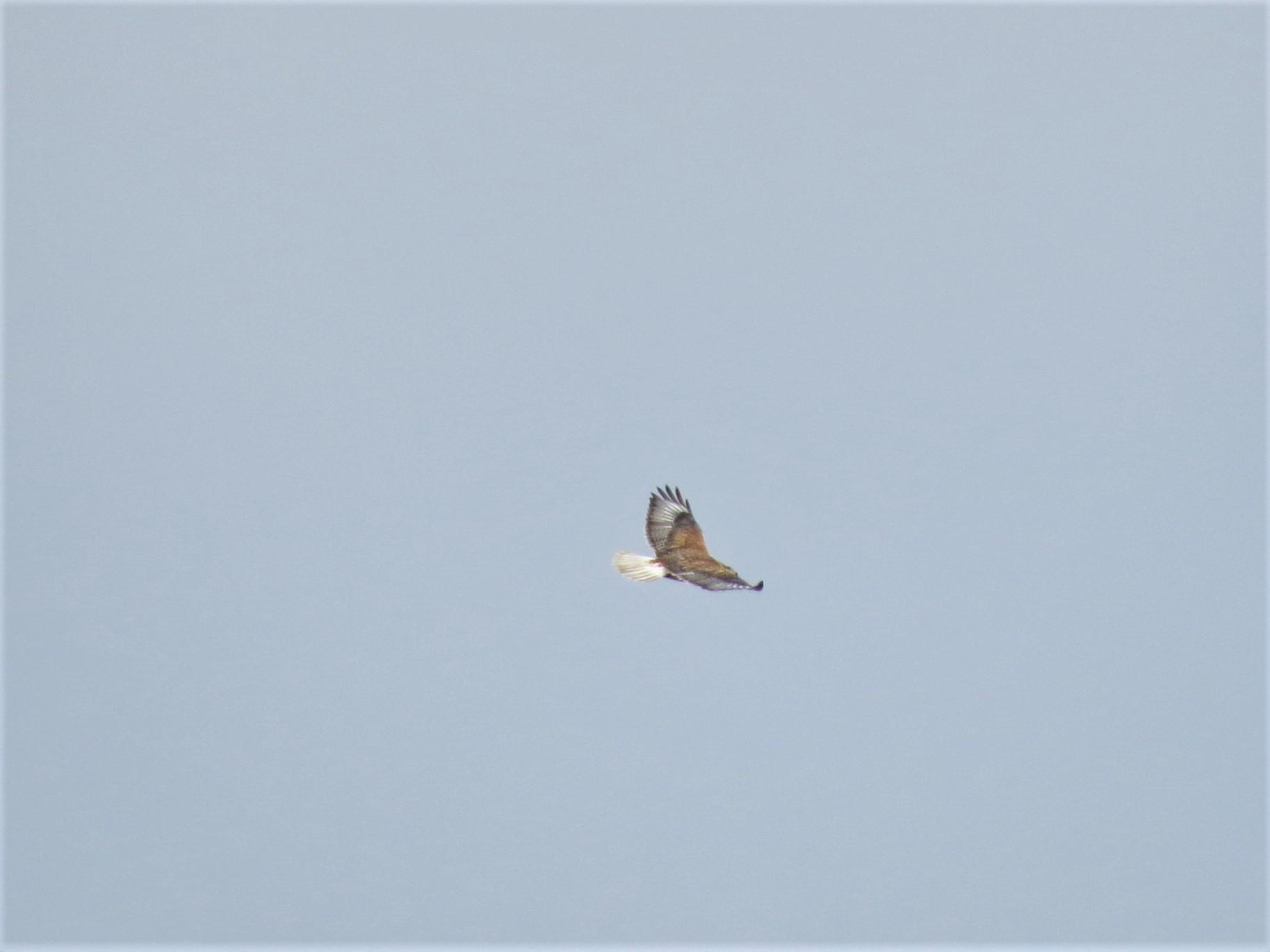 Ferruginous Hawk4