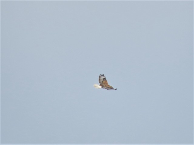 Ferruginous Hawk4