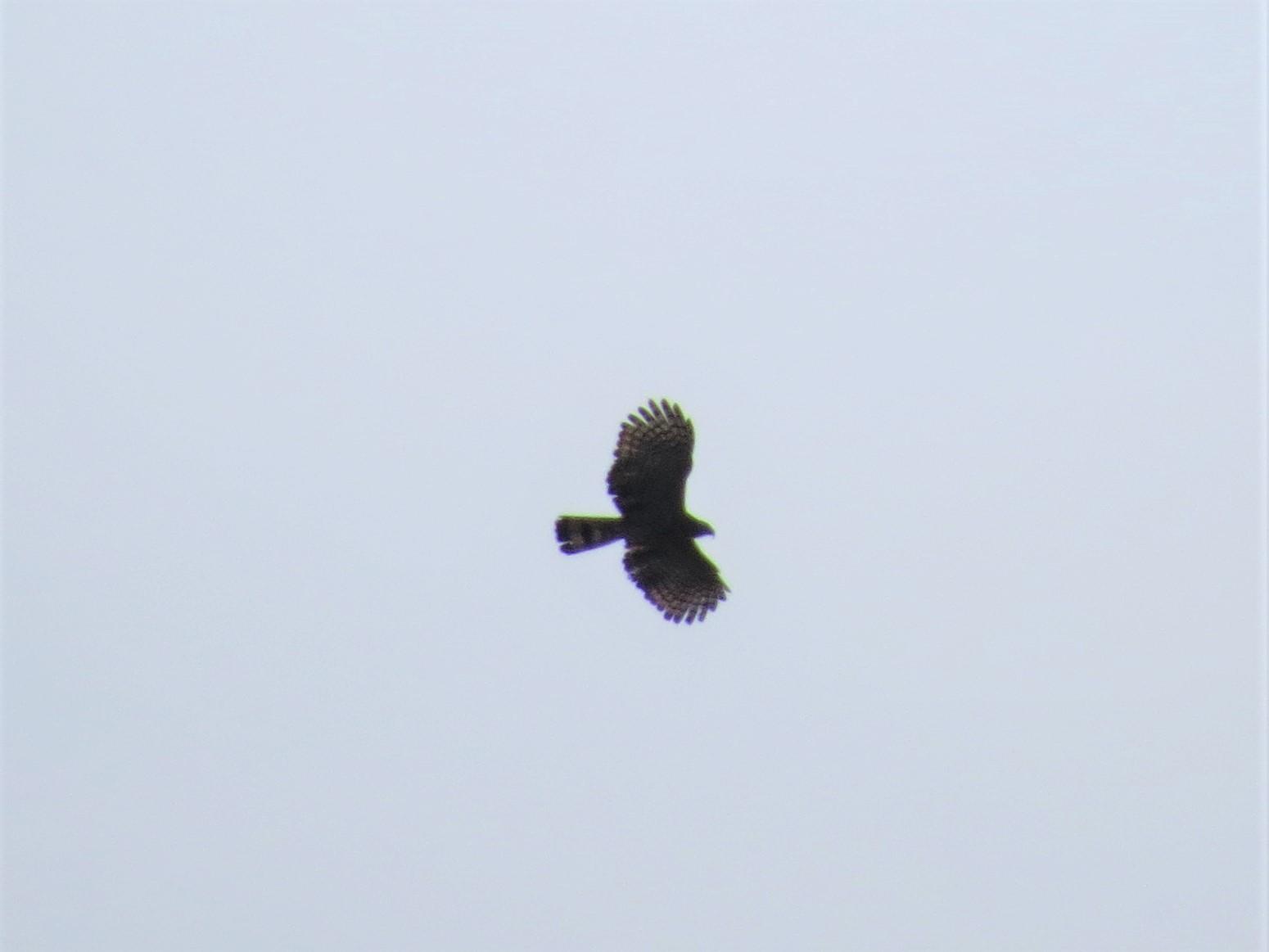 Hook-billed Kite2