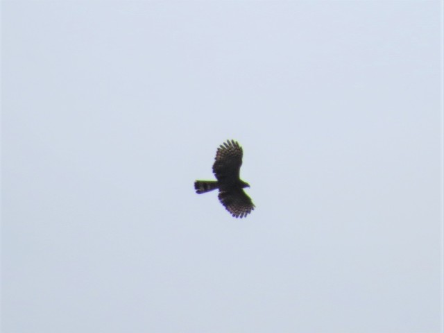Hook-billed Kite2
