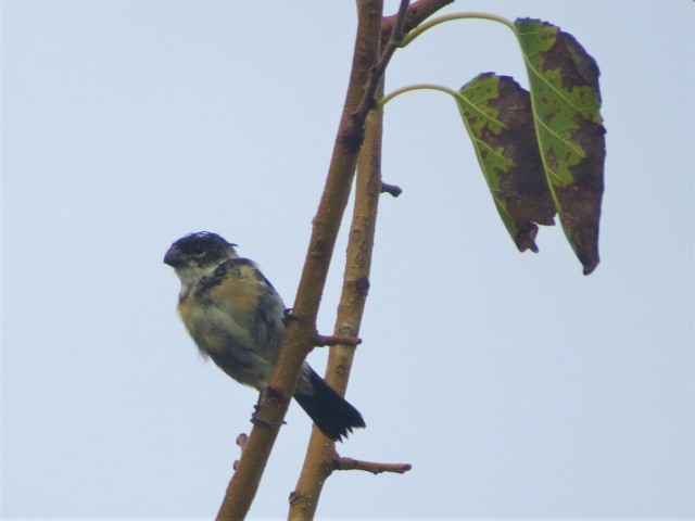 Morelets Seedeater
