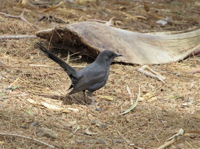 Black Scrub-Robin