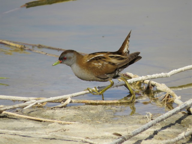 Little Crake2