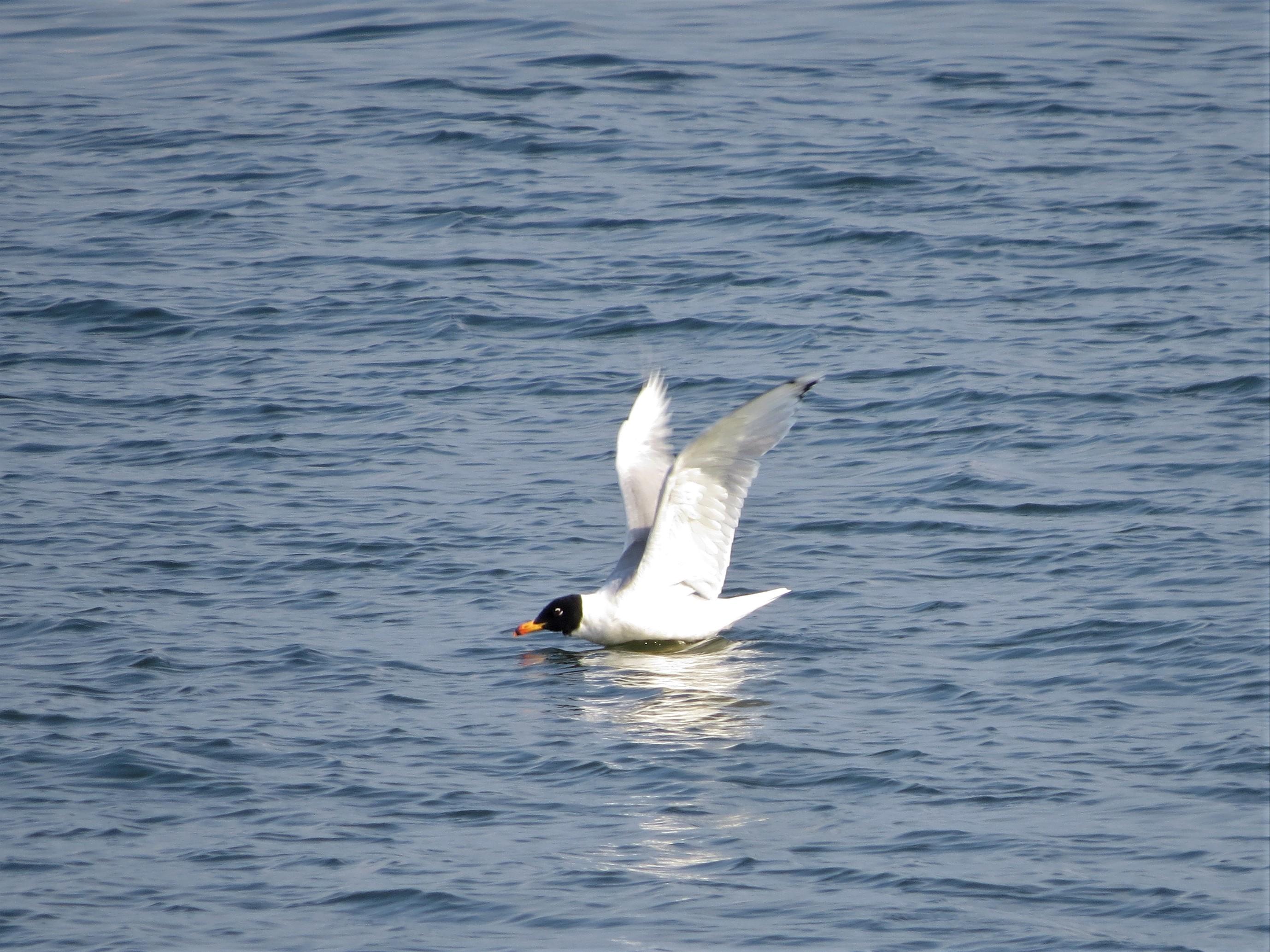 Pallas Gull