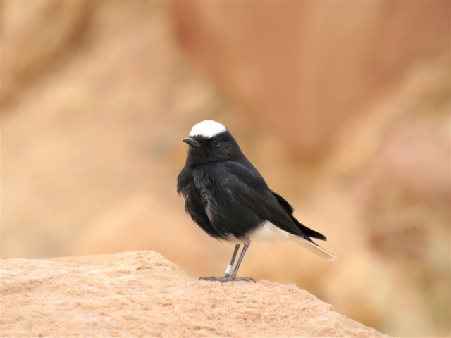 White-crowned Wheatear
