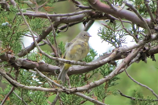 Virginias Warbler