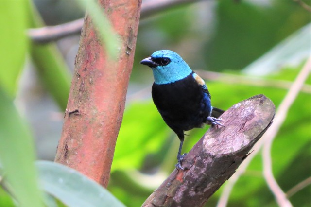 Blue-throated Tanager